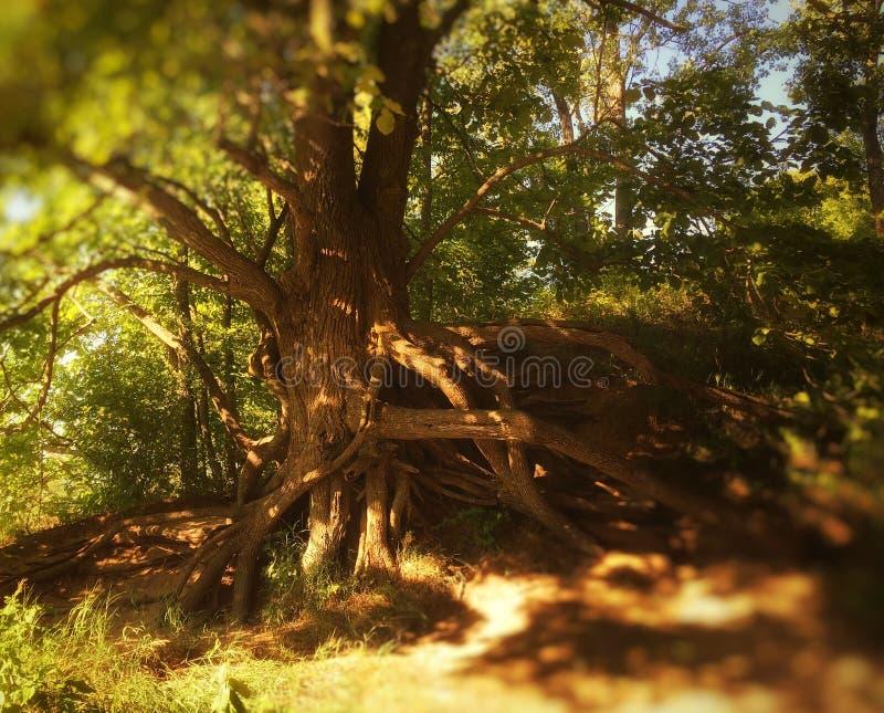 光线通过被卷入的树 免版税库存图片