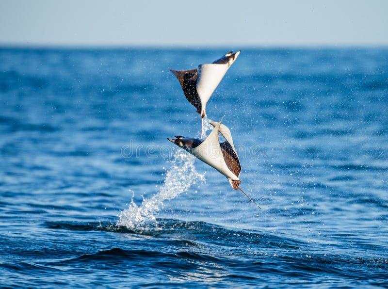 光芒是的Mobula跳出水 墨西哥 Cortez海运 图库摄影
