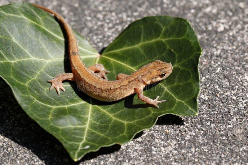 光滑的蝾螈或共同的寻常蝾螈/的Lissotriton 免版税库存照片