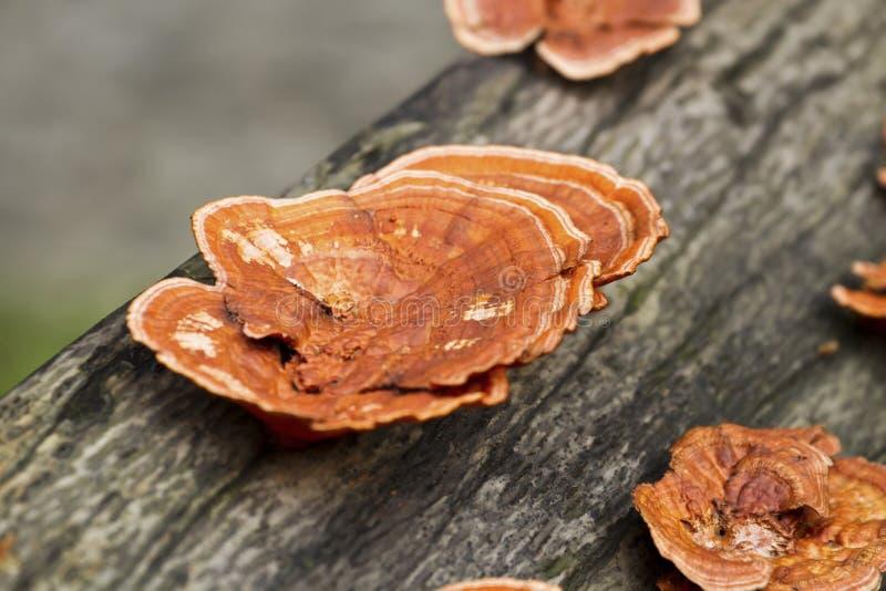 光滑的ganoderma, Ganoderma lucidum 库存图片