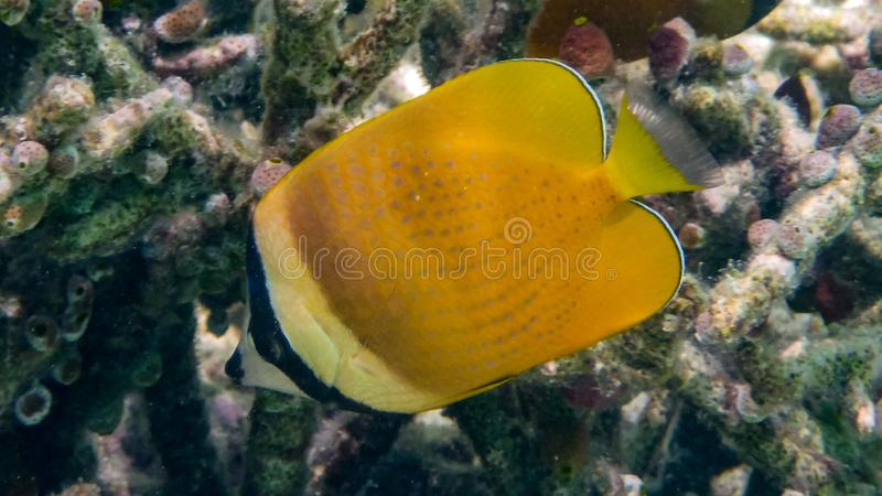 克伦` s蝴蝶鱼在印度洋,马尔代夫 免版税图库摄影