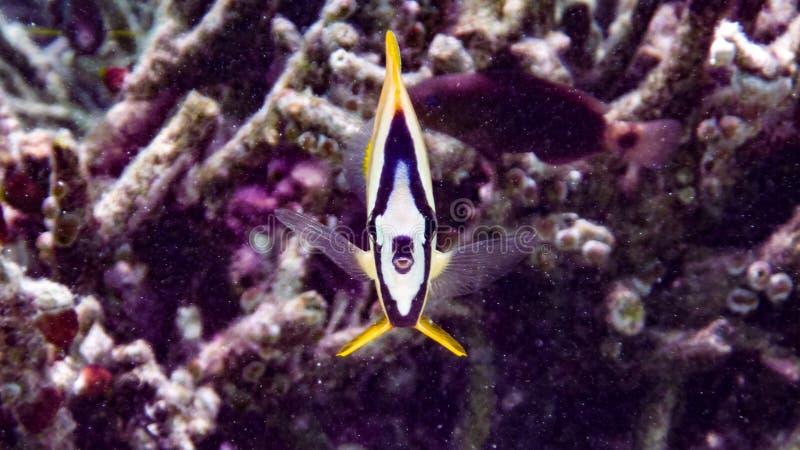 克伦` s蝴蝶鱼在印度洋,马尔代夫 库存图片