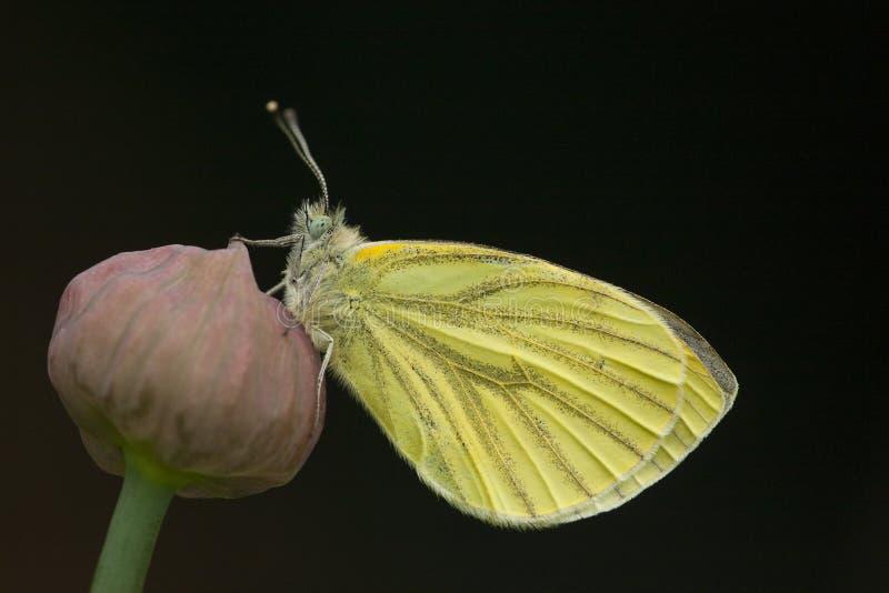 克伦geaderd witje,绿色成脉络的白色,皮利斯napi 免版税库存照片