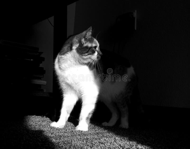 克力猫白棉布黑白照片第二 库存照片