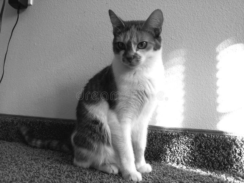 克力猫白棉布黑白照片 库存照片