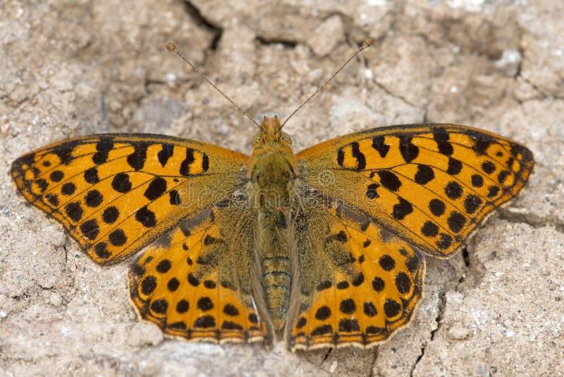 克莱茵parelmoervlinder,西班牙贝母的女王/王后 库存照片