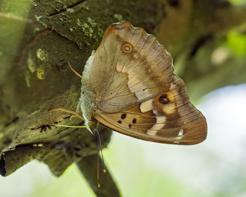 克莱茵weerschijnvlinder,一点帝王紫蛱蝶,闪蛱蝶属肠骨 库存图片