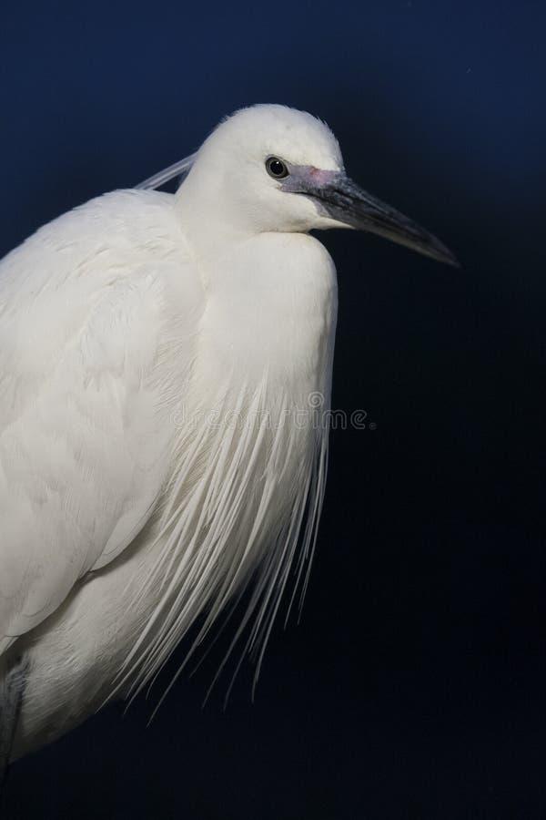 克莱茵Zilverreiger,小白鹭,白鹭属garzetta 免版税库存图片