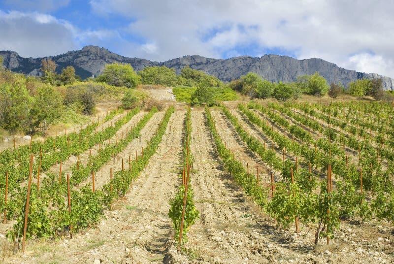 克里米亚半岛山葡萄园 图库摄影