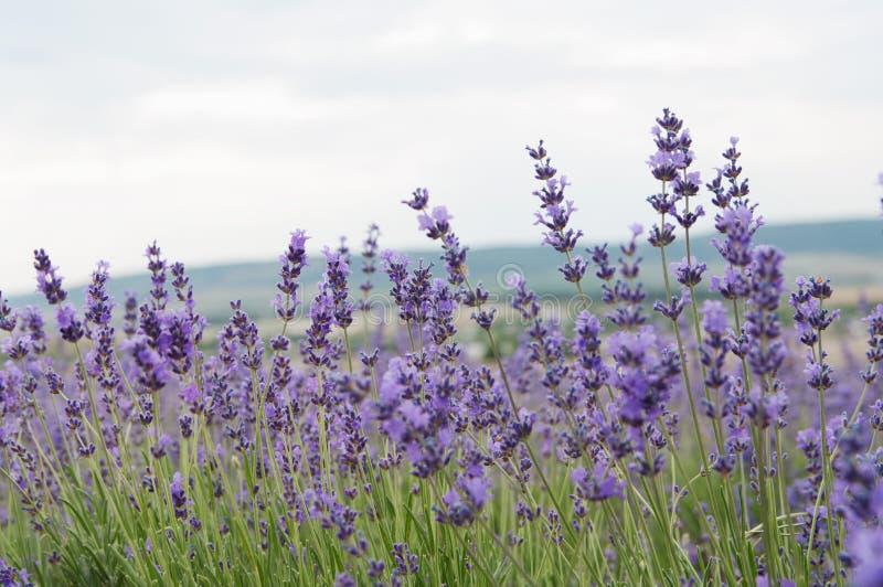 克里米亚半岛淡紫色花 库存照片