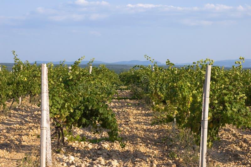 克里米亚半岛葡萄园 库存照片