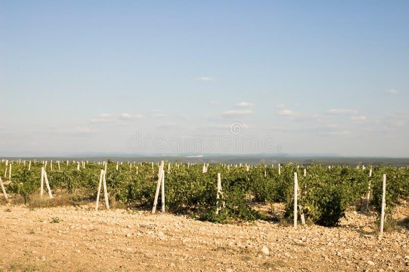 克里米亚半岛葡萄园 免版税库存图片