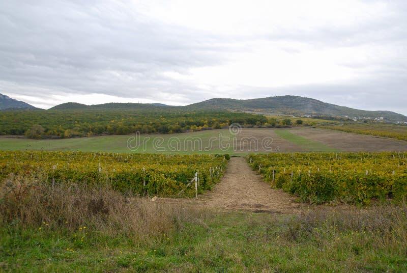 克里米亚半岛葡萄园 库存图片