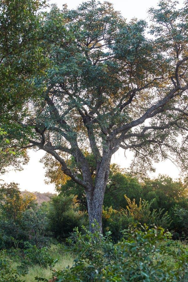 克鲁格的植物群和动物区系停放 图库摄影