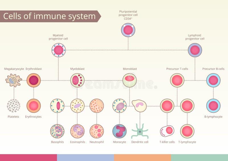 免疫系统细胞的起源  库存照片