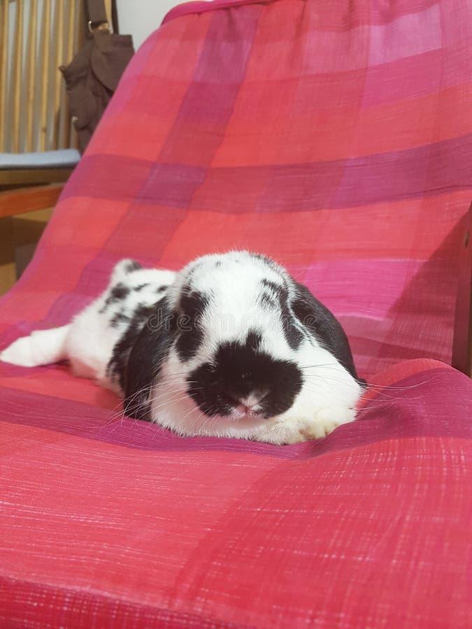 兔子兔宝宝荷兰砍 库存图片
