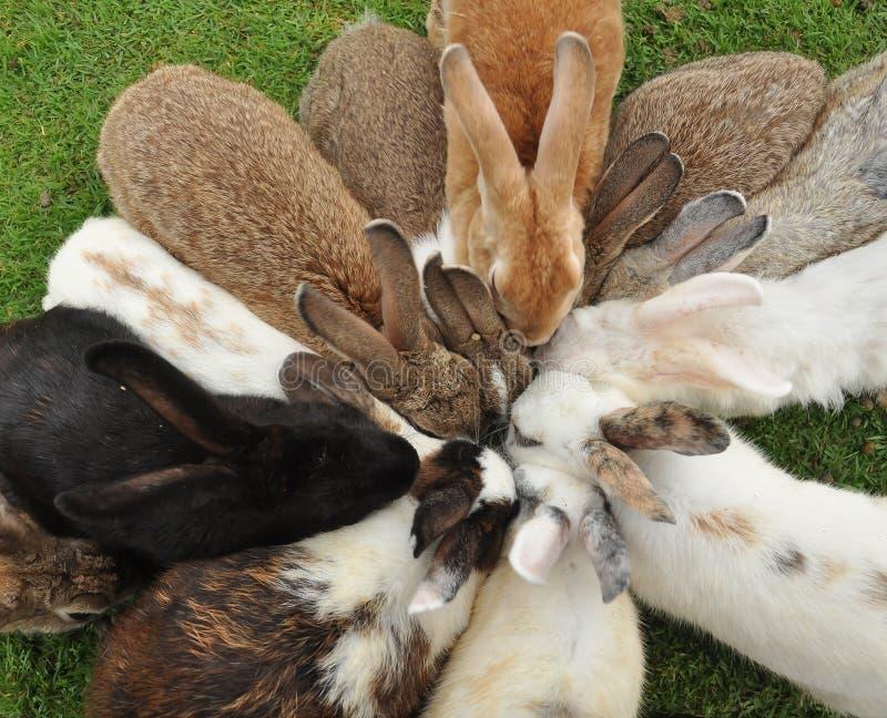 兔子哺养 免版税库存照片