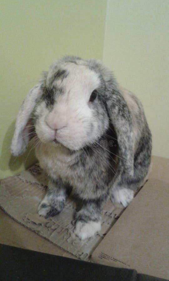 兔子姿势时间 免版税库存照片