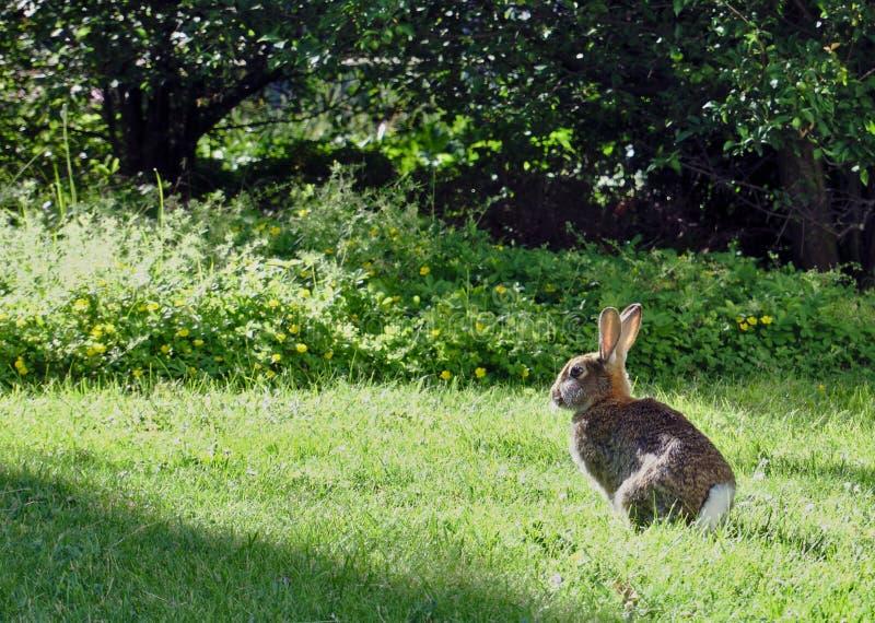 兔子或野兔在平衡的太阳 免版税图库摄影