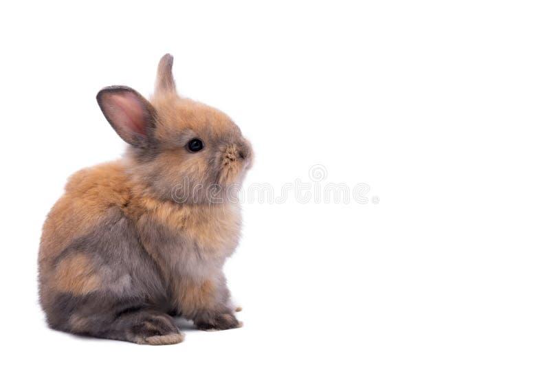 兔子有针对性的耳朵、棕色毛皮和闪耀的眼睛 库存图片