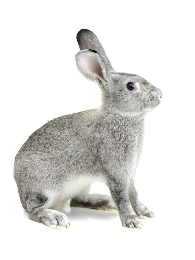 download牲口库存图片图片.a牲口的兔子表情兔子图片