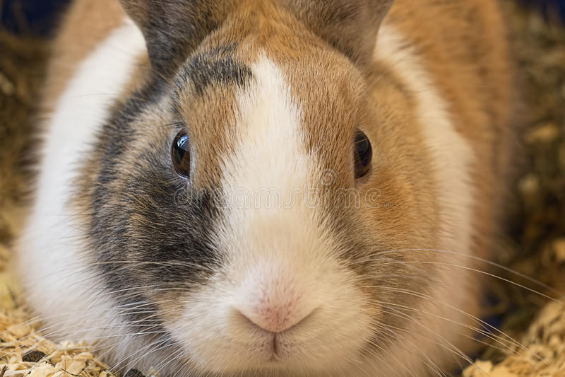 兔子特写镜头画象 库存照片