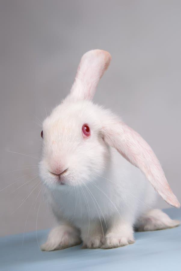 兔子白色 免版税库存图片