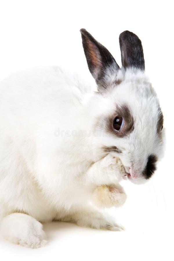 兔子白色 免版税图库摄影