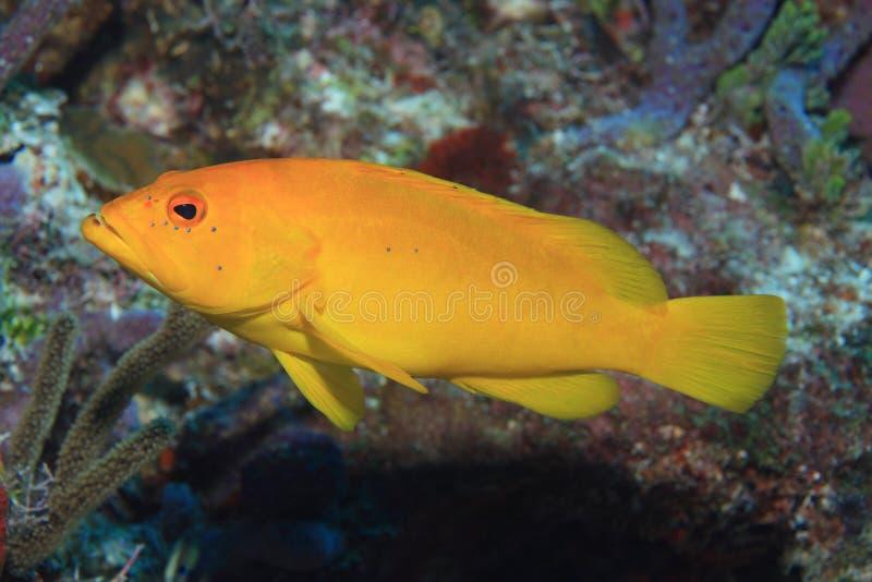 兔子石斑鱼鱼 免版税图库摄影
