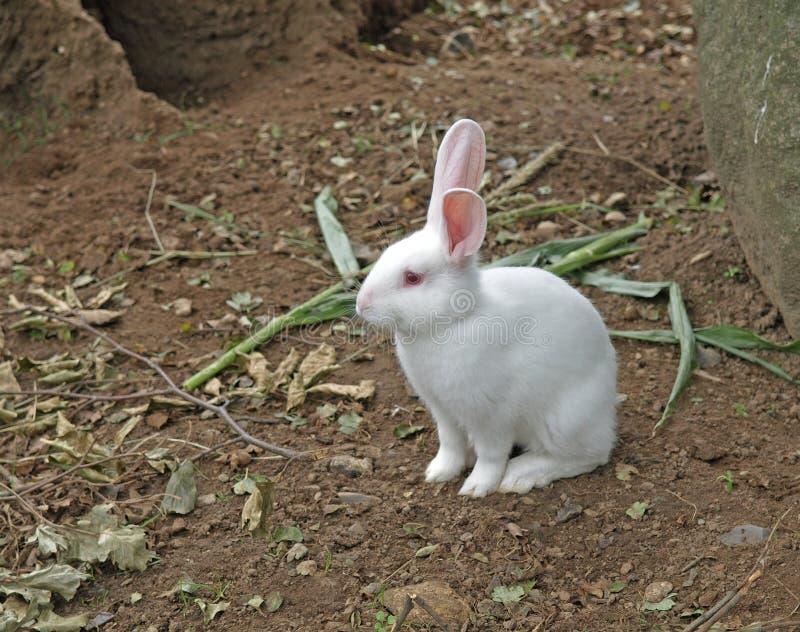 兔子空白年轻人 免版税库存照片