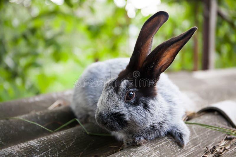 兔子银色蓝色品种与黑耳朵的 浅深度领域,软的焦点 免版税库存照片
