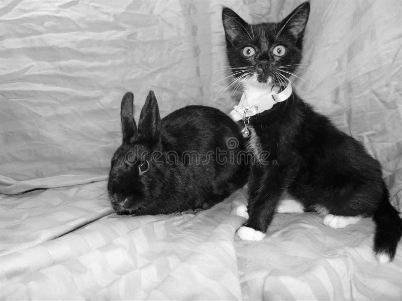 黑兔宝宝广告无尾礼服小猫 库存照片