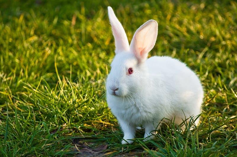 兔宝宝白色 库存图片