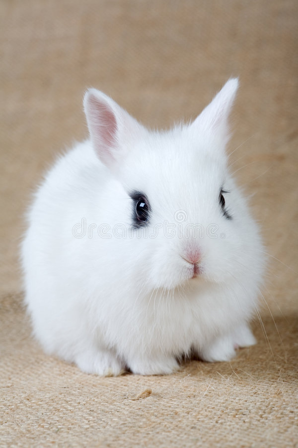 兔宝宝白色 免版税库存照片