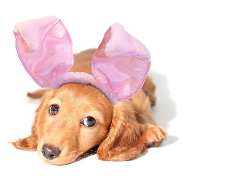 兔宝宝达克斯猎犬复活节 免版税库存图片