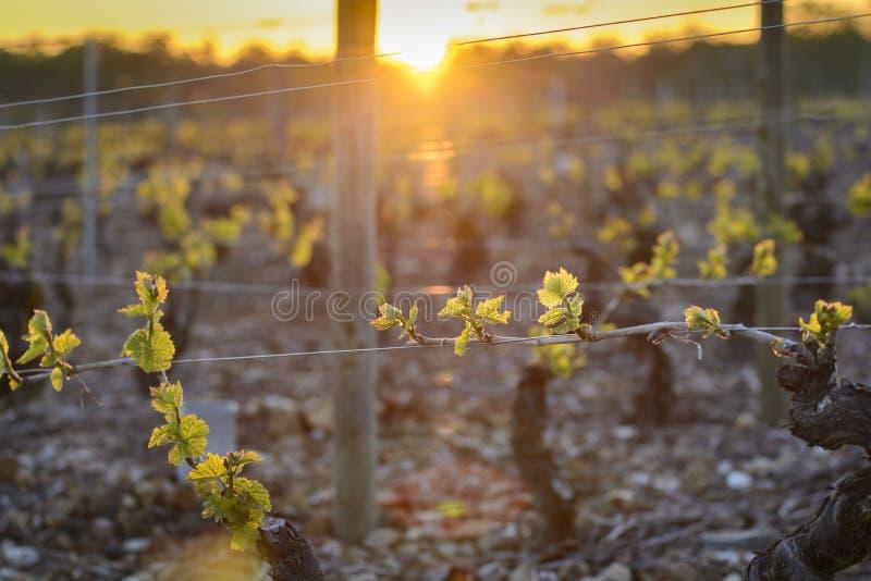 入博若莱红葡萄酒葡萄园在日出期间的,伯根地,法国 免版税库存图片