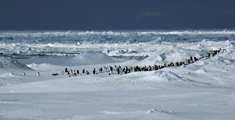 全景企鹅 免版税库存图片