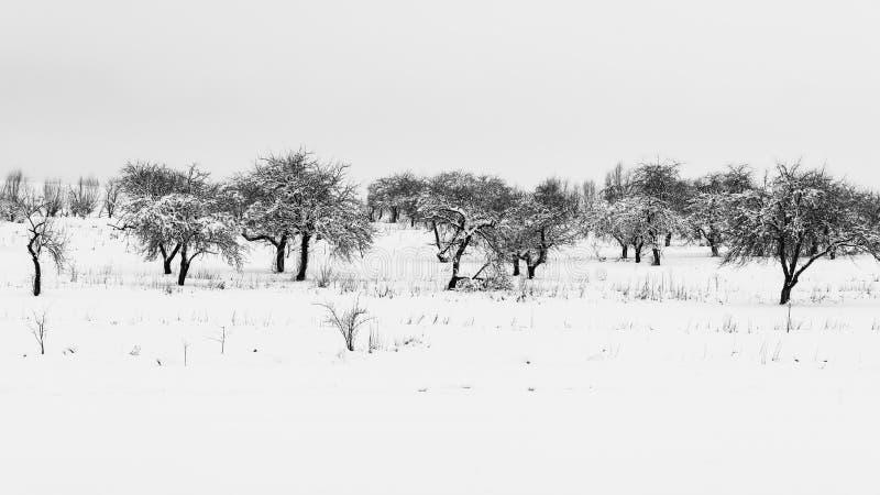 全景冬天风景,苹果树用雪,自然报道,单色 库存照片