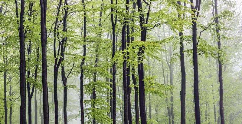全景山毛榉森林 库存图片