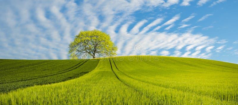 全景春天绿色领域,在领域的偏僻的树 免版税库存图片
