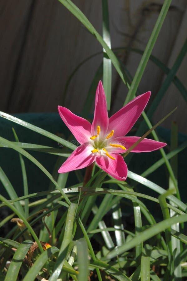 全视图花粉装满的五颜六色的'墨西哥百合'在与叶子的生动的洋红色有充分的早晨太阳的 库存图片