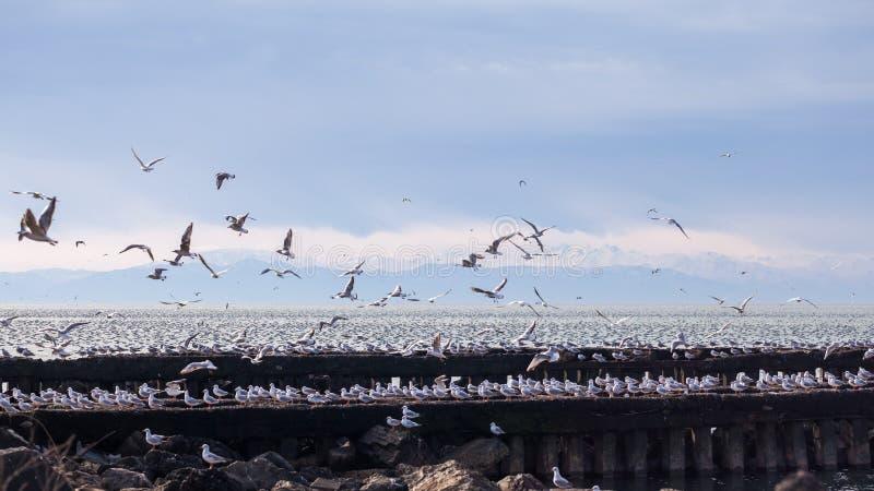 全部在黑海,波季,乔治亚的防堤的海鸥 免版税图库摄影