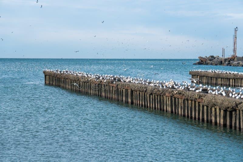 全部在黑海,波季,乔治亚的防堤的海鸥 免版税库存照片