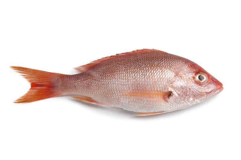 全部新鲜的红鲷鱼 免版税库存照片