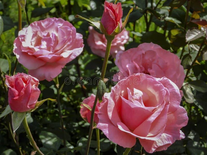 全部美丽的桃红色玫瑰女王伊丽莎白在自然阳光下在深绿背景 免版税库存照片