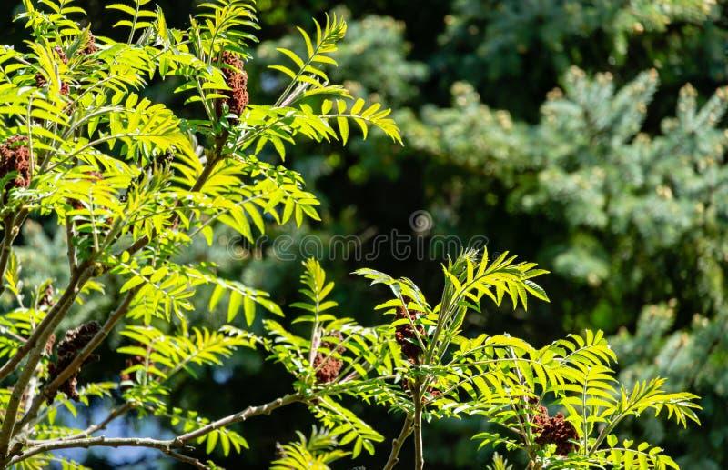 全部美丽的漆树typhina Staghorn sumac,漆树科网眼图案年轻鲜绿色的叶子在自然阳光下 库存照片