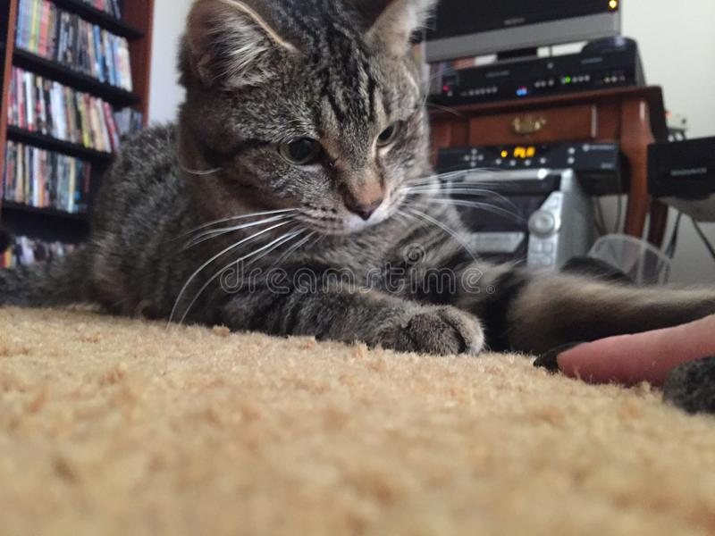 全部赌注猫平纹好奇对攻击的手指 免版税库存照片