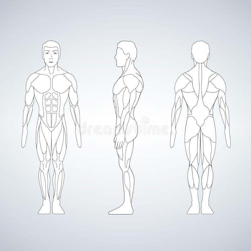 全长肌肉身体,前面,后面观点的一个常设人 向量例证