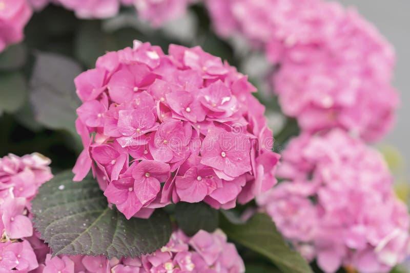 八仙花属特写镜头,选择聚焦桃红色花  自然八仙花属macrophylla,霍滕西亚 选择大头  库存照片