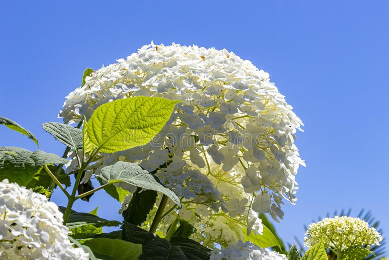 八仙花属的美好的白色umbels美妙地引人注意反对天空蔚蓝 免版税库存图片